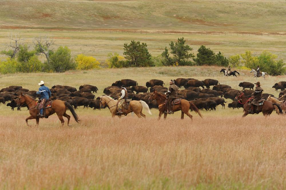 Cowboys on horseback rounding up a buffalo herd (Shutterstock)