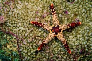 Морская звезда лежит на кораллах (© National Geographic Creative/Tim Laman)
