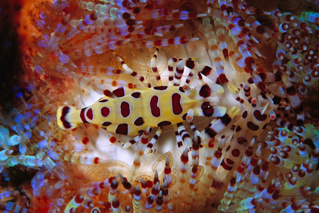 Brightly colored shrimp crawling on sea urchin (© National Geographic/Hiroya Minakuchi/Minden Pictures)