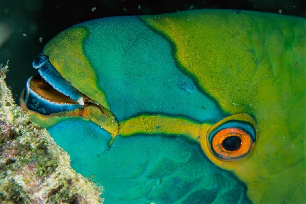 Face of parrotfish (© National Geographic Creative/Tim Laman)