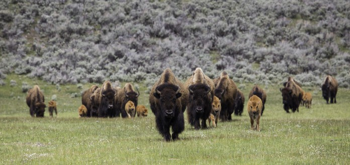 Des bisons marchant dans une prairie (National Park Service)