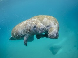 佛罗里达州一头成年海牛和一头小海牛在佛罗里达州棕榈滩海湾(Palm Beach Inlet)游弋。 (NOAA)