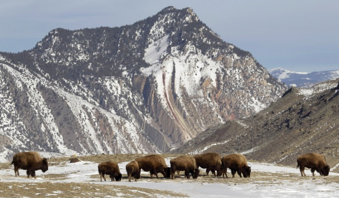 Group of bison grazing with snowy mountain in background (© AP Images)