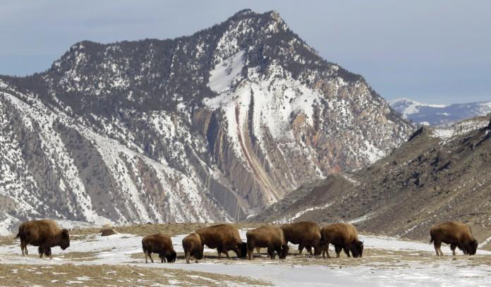 Troupeau de bisons en train de brouter, des montagnes enneigées en arrière-plan (© AP Images)