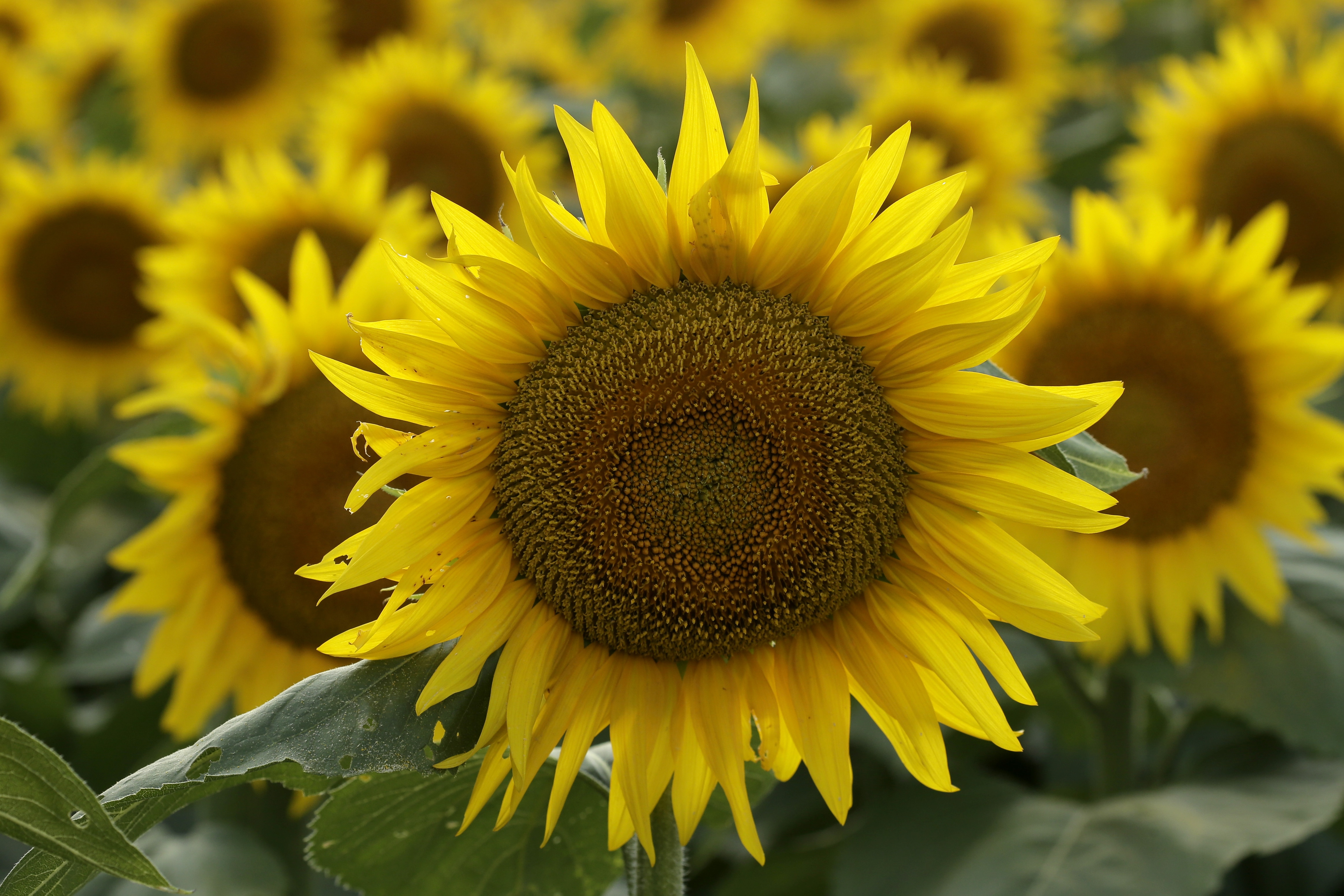 گل های آفتابگردانی که در یک مزرعه شکوفا شده اند (عکس از آسوشیتد پرس)