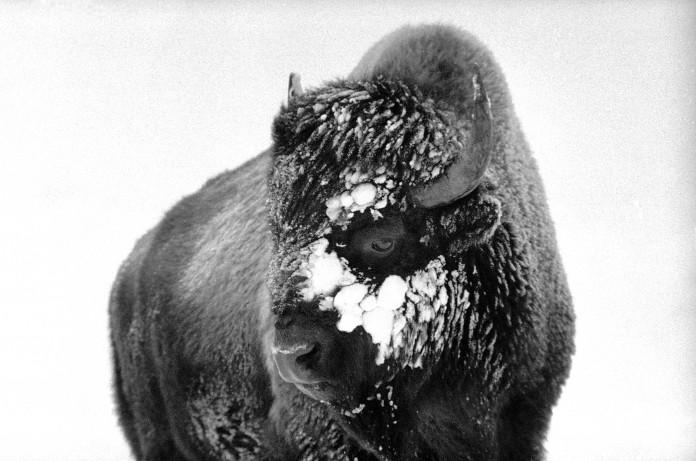 Un bison, avec de la glace et de la neige dans les poils de sa tête (© AP Images)