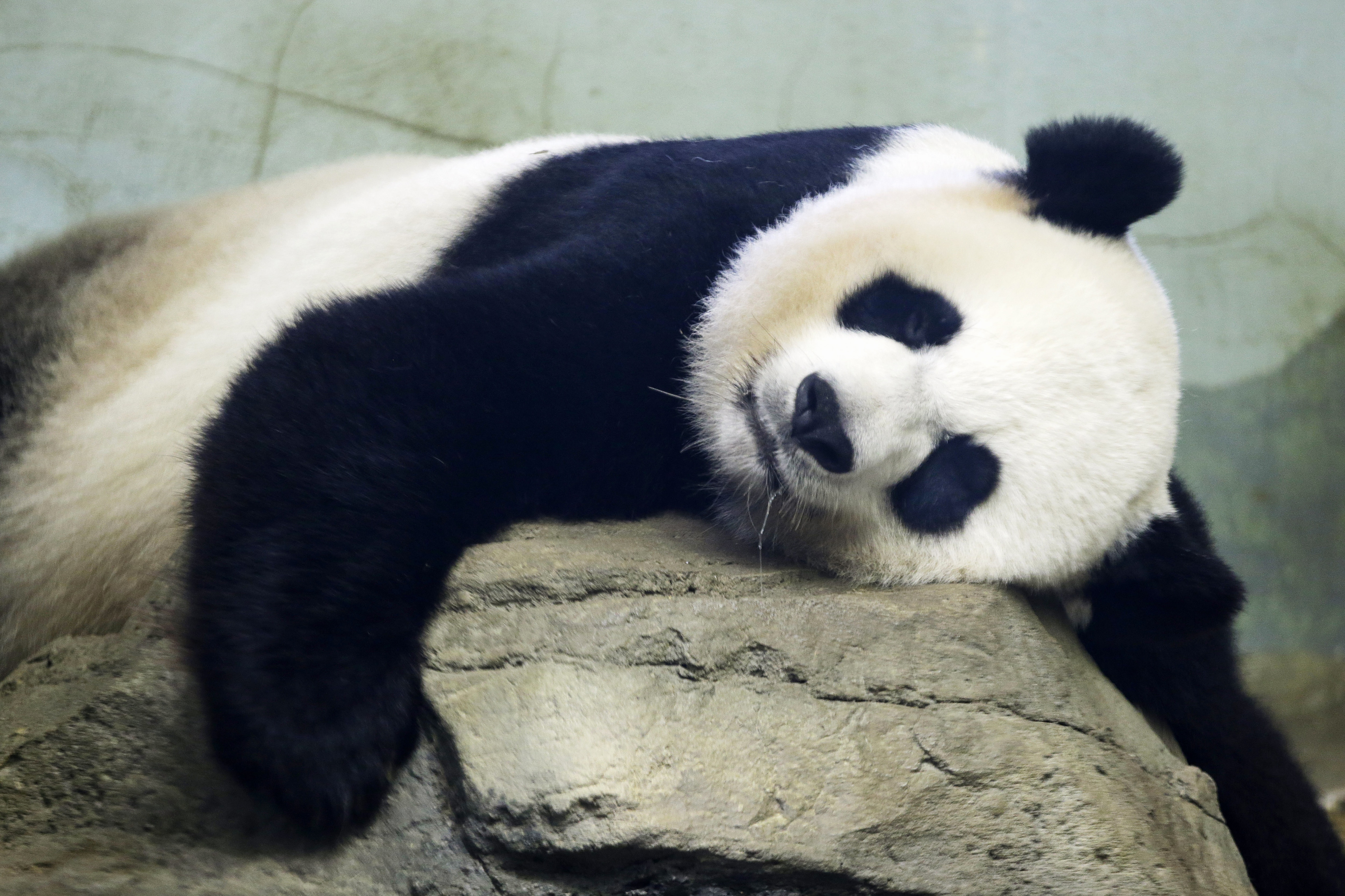 Panda lying on rock (© AP Images)