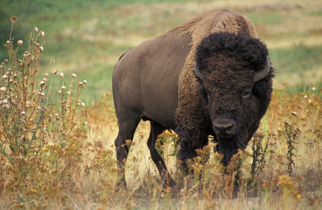 Lone bison standing in grassy field (U.S. Department of Agriculture)