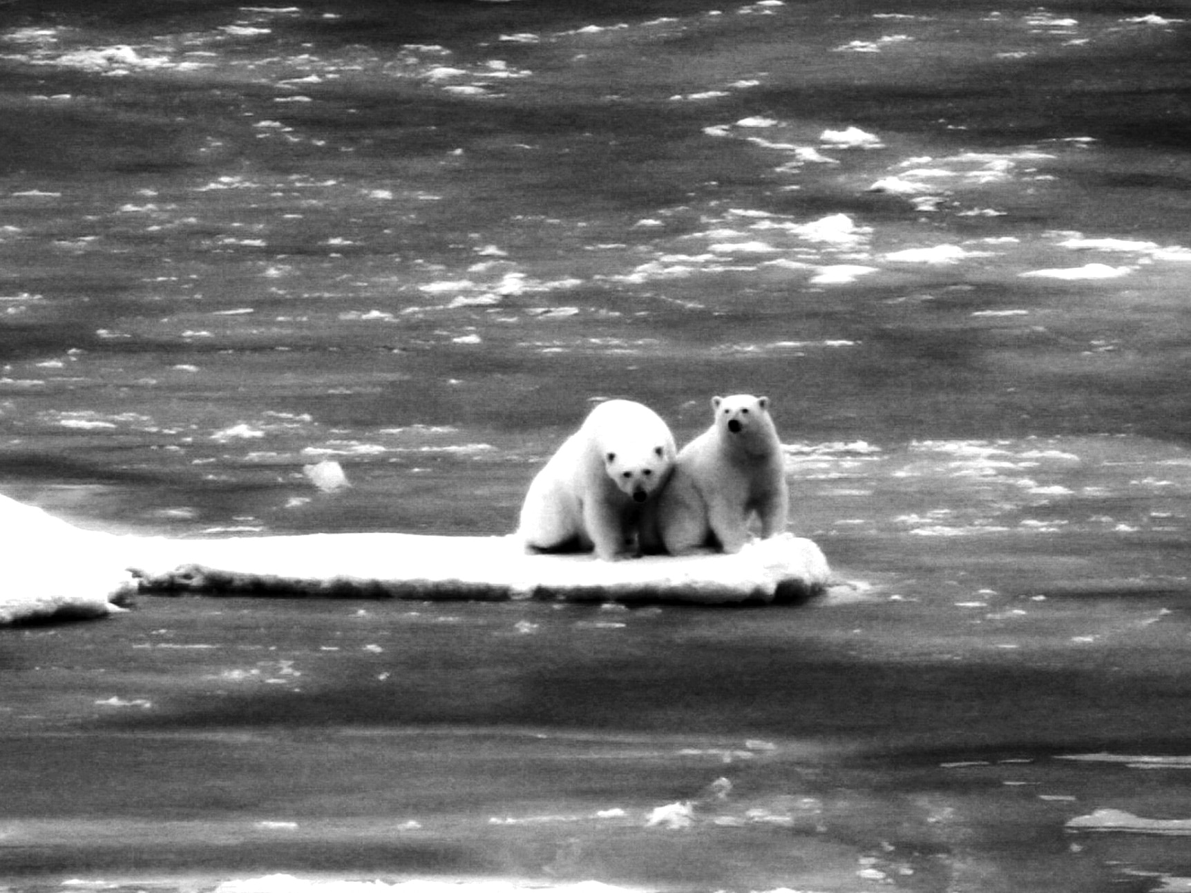 Two polar bears sitting on small ice chunk (USGS)