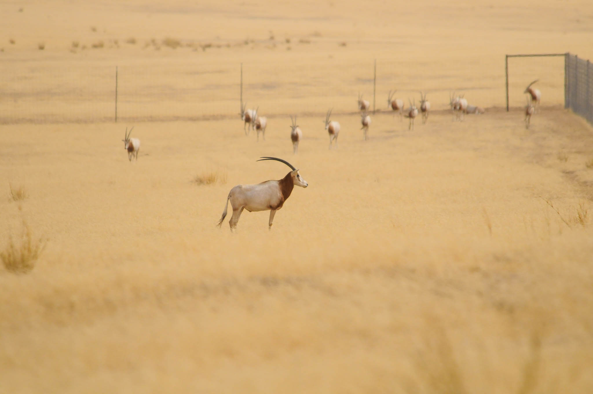 Scimitar-horned oryx standing in enclosed field in Chad (© Environment Agency–Abu Dhabi)