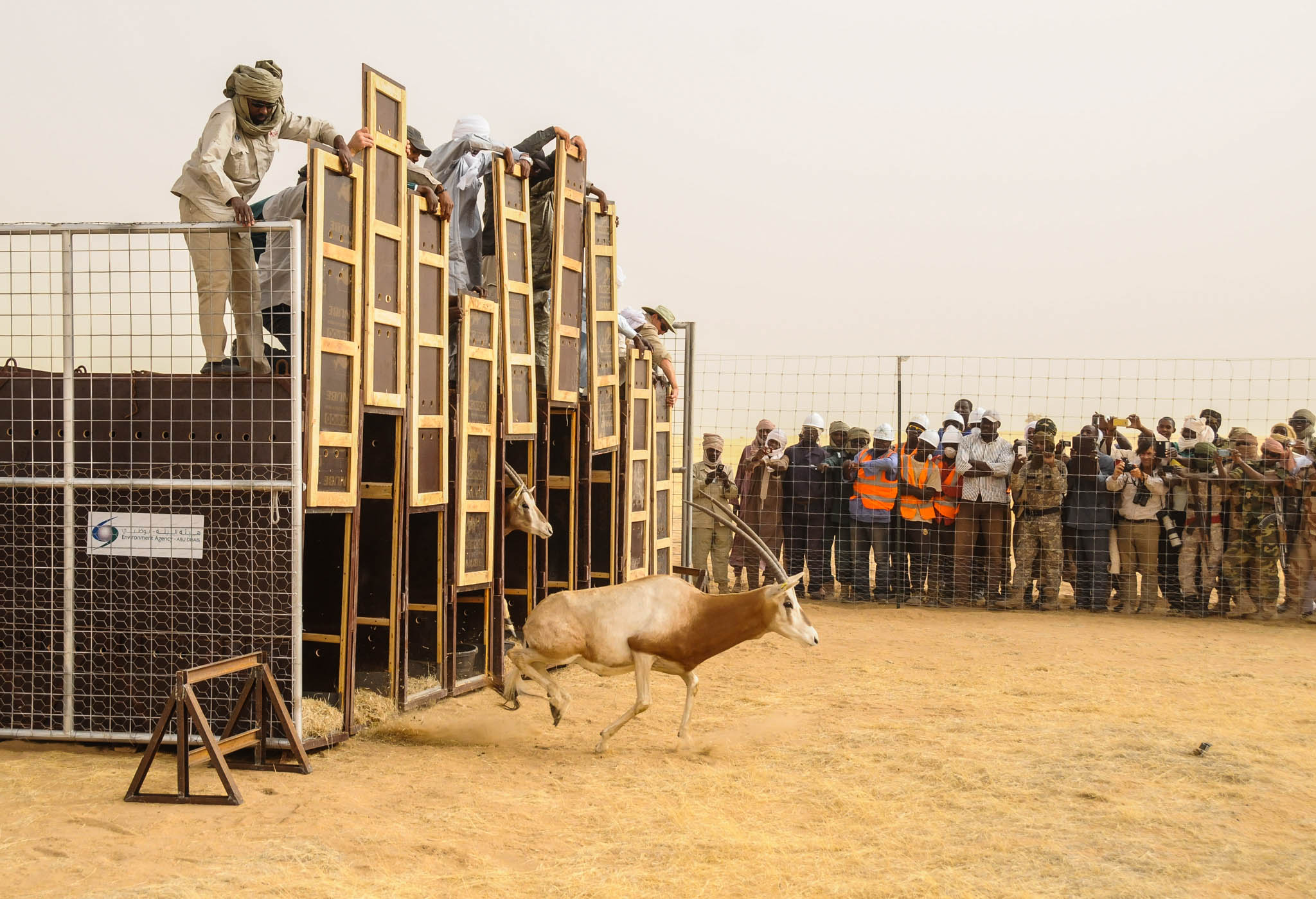 Man standing on cage, lifting door to release oryx (© Environment Agency–Abu Dhabi)