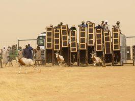 Scimitar-horned oryx in Chad (© Environment Agency–Abu Dhabi)