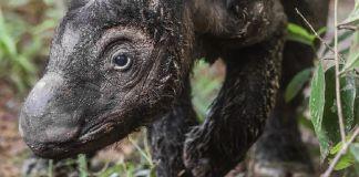 Sumatran rhinoceros walking through wooded area (© AP Images)