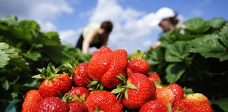 Women picking from garden with bowl of strawberries in foreground (© AP Images)