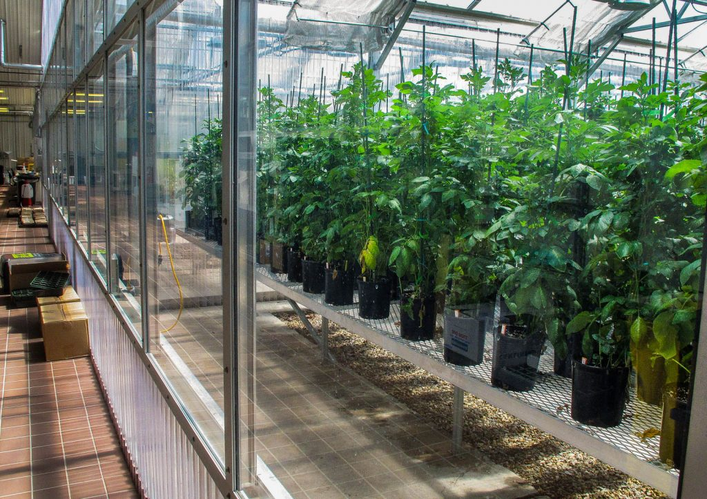Plants in biotech greenhouse (© AP Images)