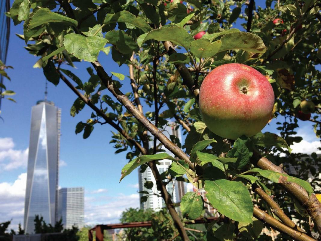 Pohon apel tumbuh di taman atap di kota New York. (© AP Images)