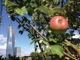 Apple growing on tree with skyscraper in background (© AP Images)