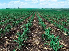 محصول ذرة ينمو في حقل (USDA)