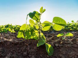 Soybean plants (© Shutterstock.com)