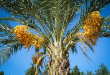 شجرة نخيل تحمل عناقيد ثمرة التمر (© Shutterstock/Yarygin)
