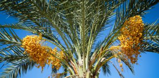 Date palm tree with clusters of fruit (Shutterstock)
