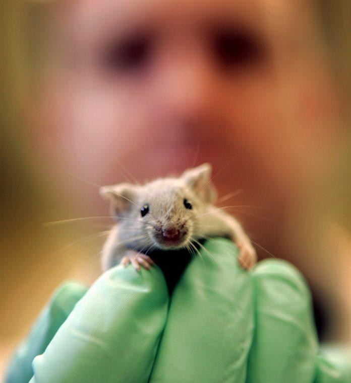 A researcher holding a mouse (© AP Images)