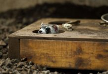 Ferret peeking out of a hole in wooden box (© AP Images)