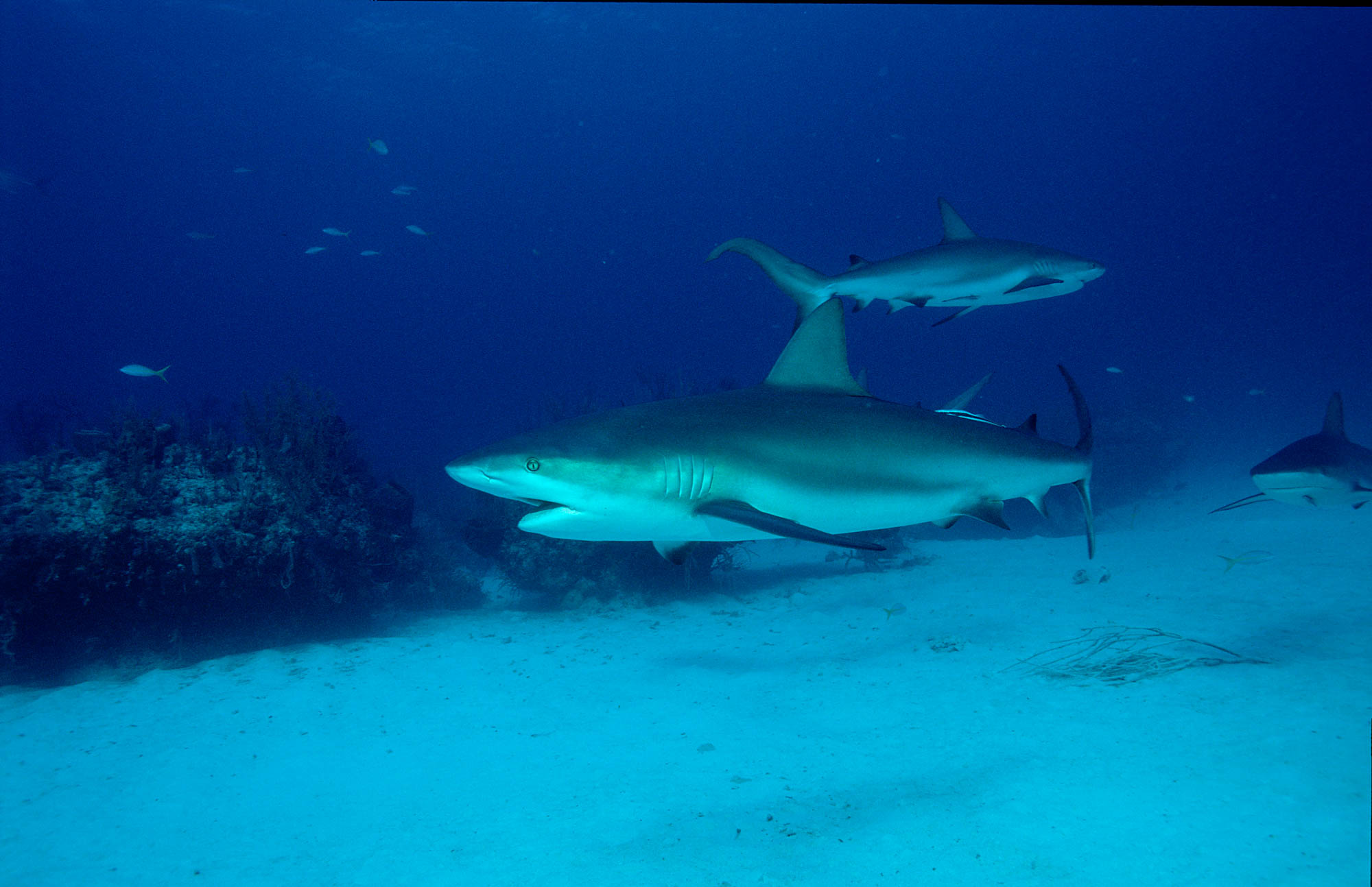 Swimming Caribbean reef sharks (Getty Images/Reinhard Dirscherl)
