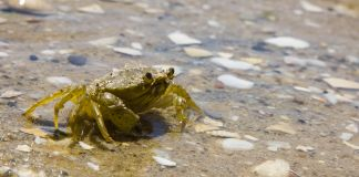 Crab walking on beach (Shutterstock)
