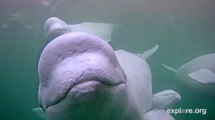 Belugas nadando (© AP Images)