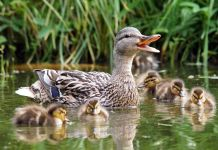 Mother duck and ducklings swimming in water (Thinkstock)
