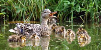 Uma pata e seus filhotes nadando na água (Thinkstock)