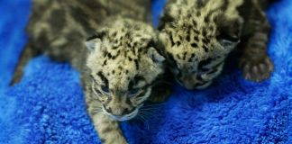 Leopard cubs playing on carpet (© AP Images)