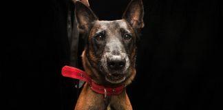 Close de cão marrom com coleira vermelha (Depto. de Estado/D.A. Peterson)