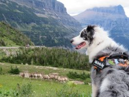 Black-and-white dog overlooking bighorn sheep in mountain meadow (NPS/A.W. Biel)