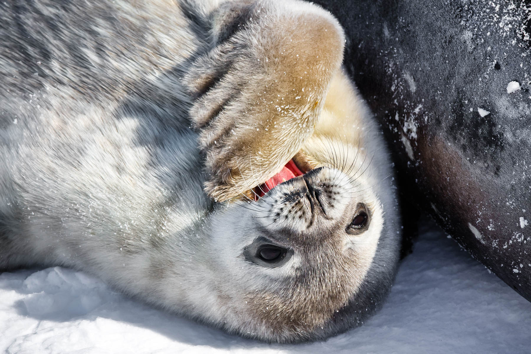 Baby seal lying on back (Shutterstock)