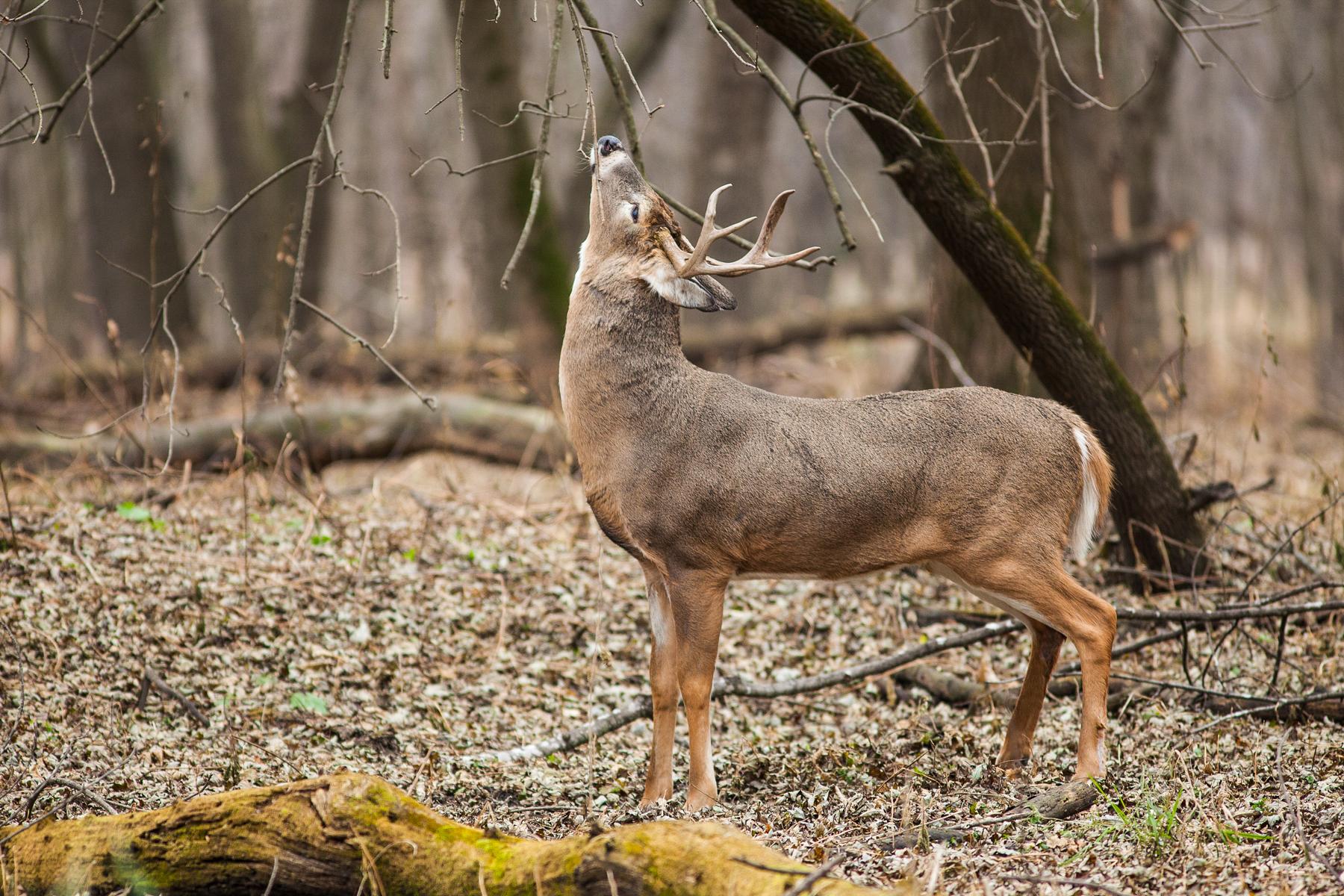 A deer looking up (NPS/Gordon Dietzman)