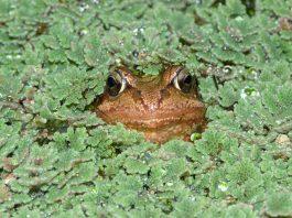 ازولا کے پودوں کے ایک ڈھیر سے اپنا سر باہر نکالے ہوئے ایک مینڈک۔ (Nigel Cattlin/Alamy Stock Photo)