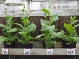 Four tobacco plants (© AP Images)