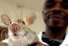 Man holding rat (Brian Johnson/APOPO)