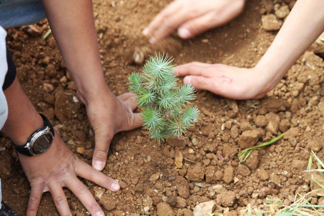 Gros plan sur deux paires de mains en train de mettre en terre un plant de cèdre (Photo offerte par la Lebanon Reforestation Initiative)