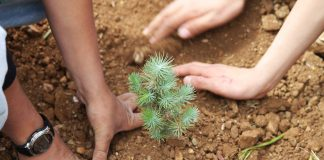 Close-up of two pairs of hands planting cedar sapling (Courtesy of the Lebanon Reforestation Initiative)