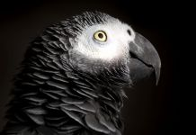 Close-up of African grey parrot (Shutterstock)