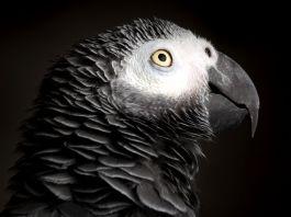 Di tahun 2016 sejumlah negara telah bertindak untuk mengakhiri segala perdagangan internasional terkait burung beo abu-abu Afrika, salah satu burung yang paling banyak diperdagangkan secara ilegal di dunia. (Shutterstock)