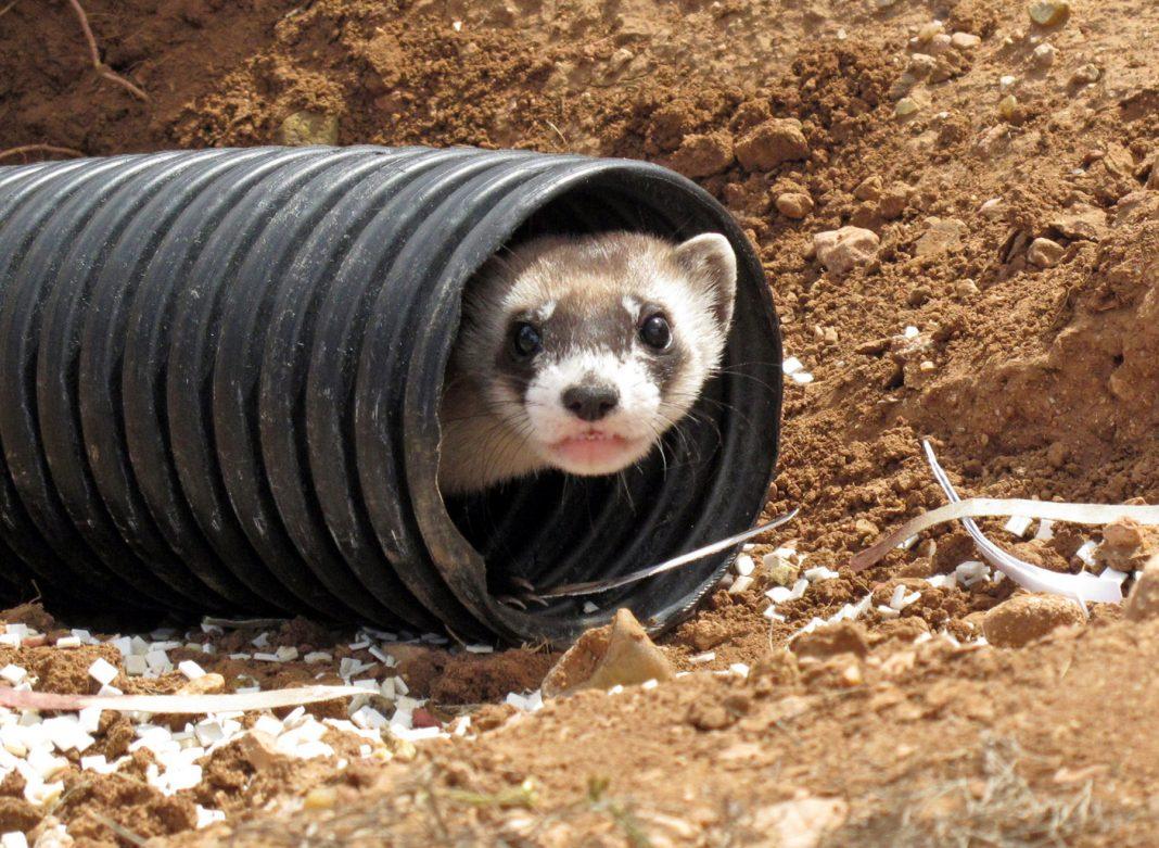 从管道中向外张望的黑足鼬(© AP Images)