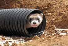 Black-footed ferret peeking out from pipe (© AP Images)