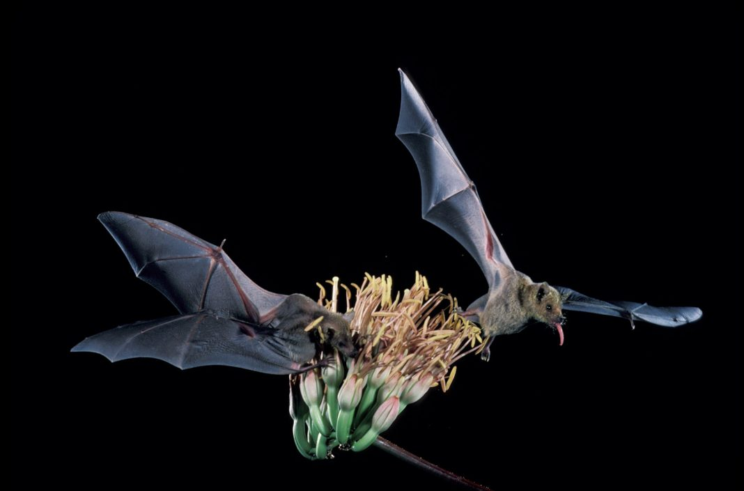 Two bats hovering over agave plant (U.S. Fish and Wildlife Service)