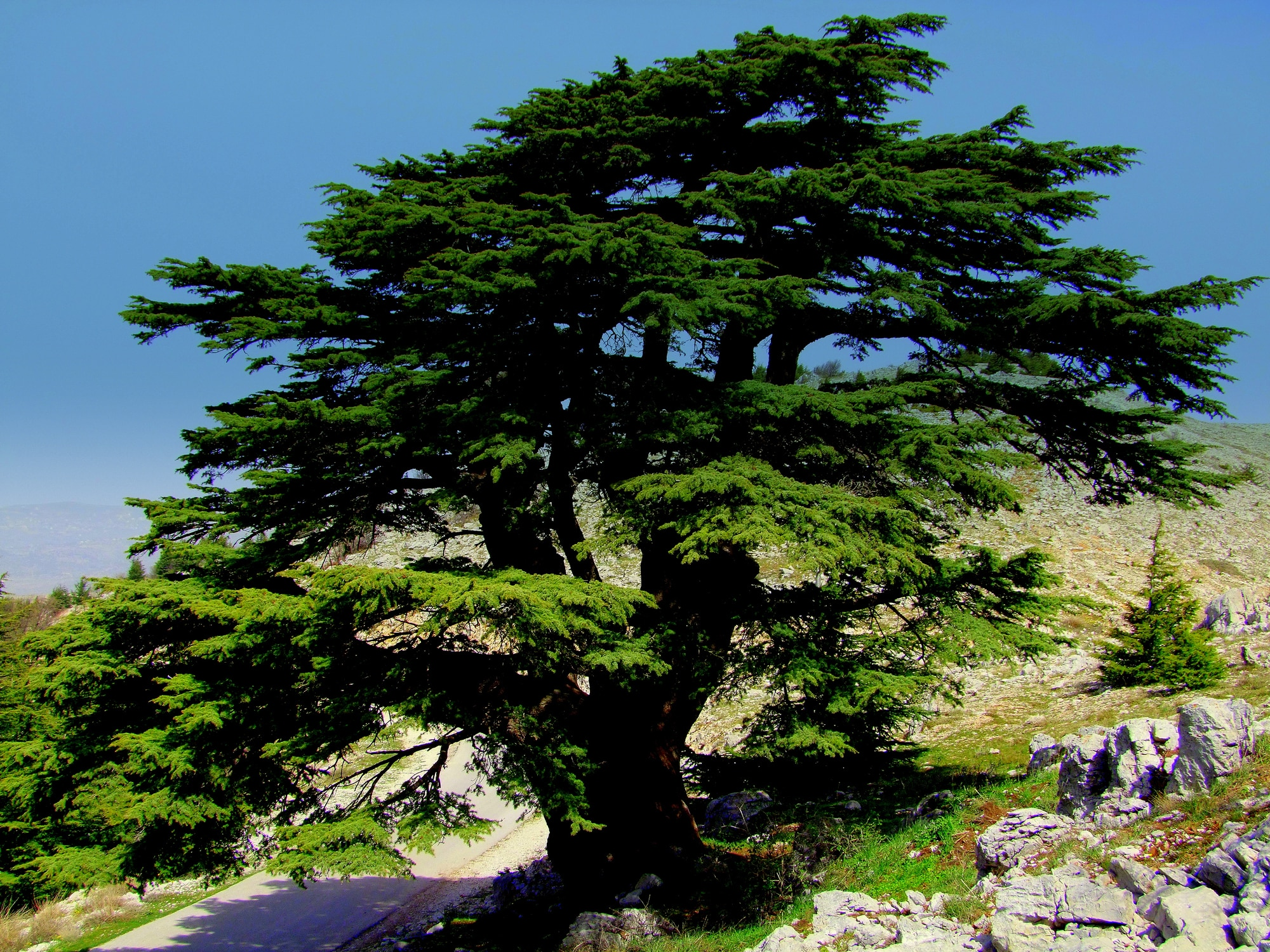 Cedar of Lebanon (Thinkstock)