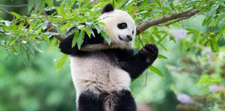 Panda hanging from tree branch (© AP Images)