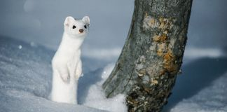 Fluffy white weasel standing on hind legs in snow (© National Geographic/Michael S. Quinton)